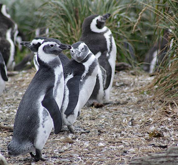 Pingüins na ilhota Tucker, trecho Punta Arenas-Ushuaia